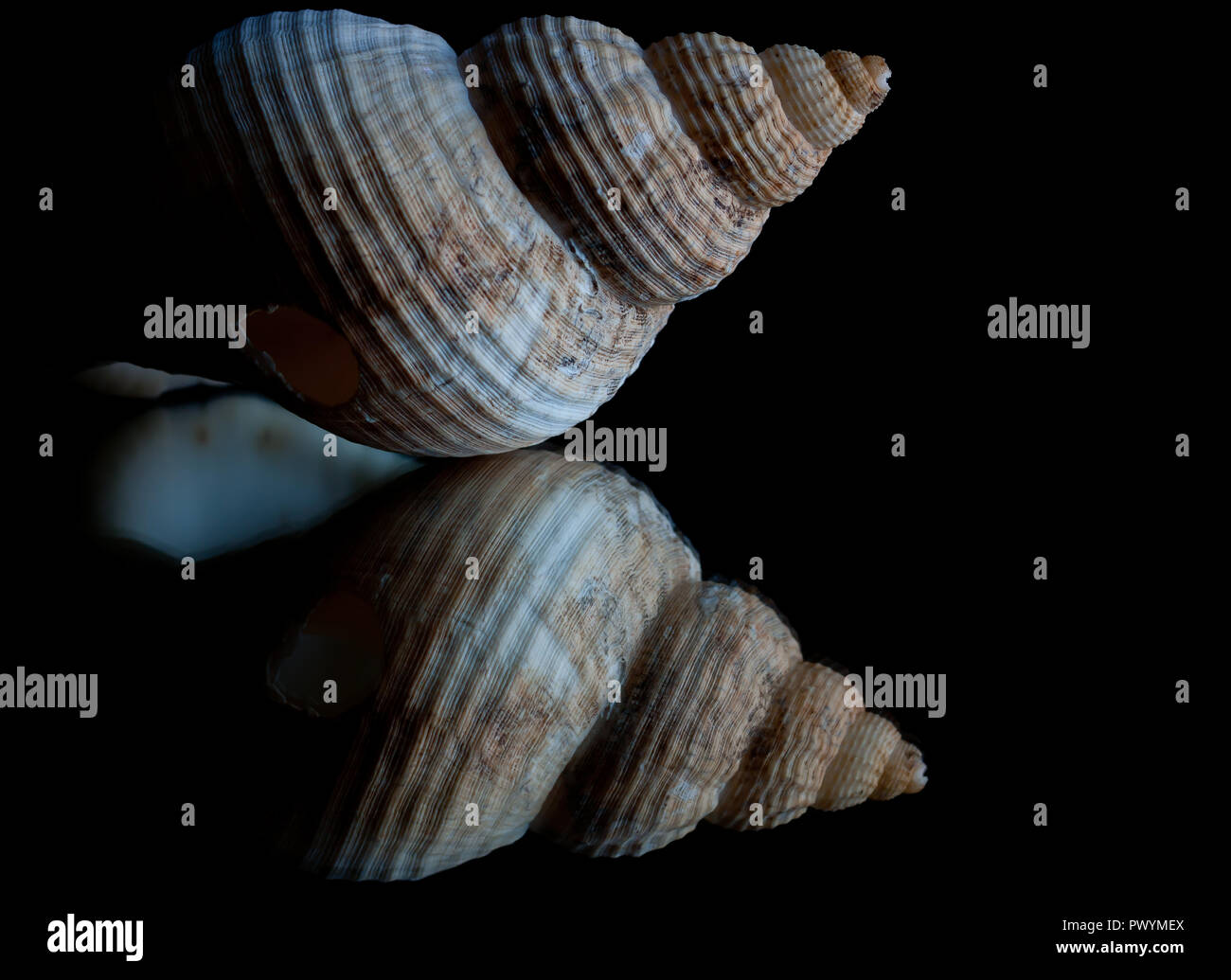 High contrast image and reflection of a seashell with black background and space for text Stock Photo