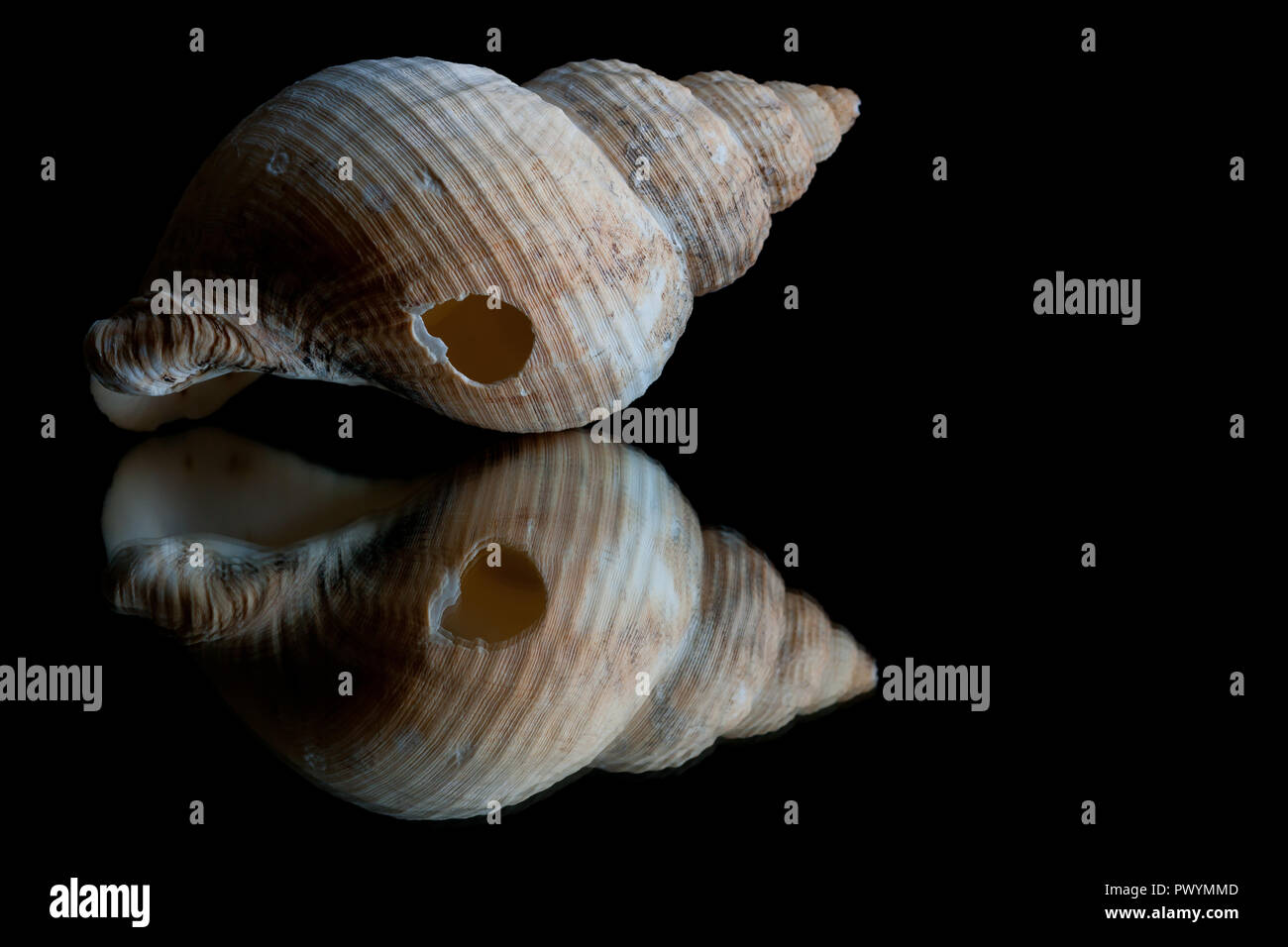 High contrast image and reflection of a seashell with black background as space for text Stock Photo