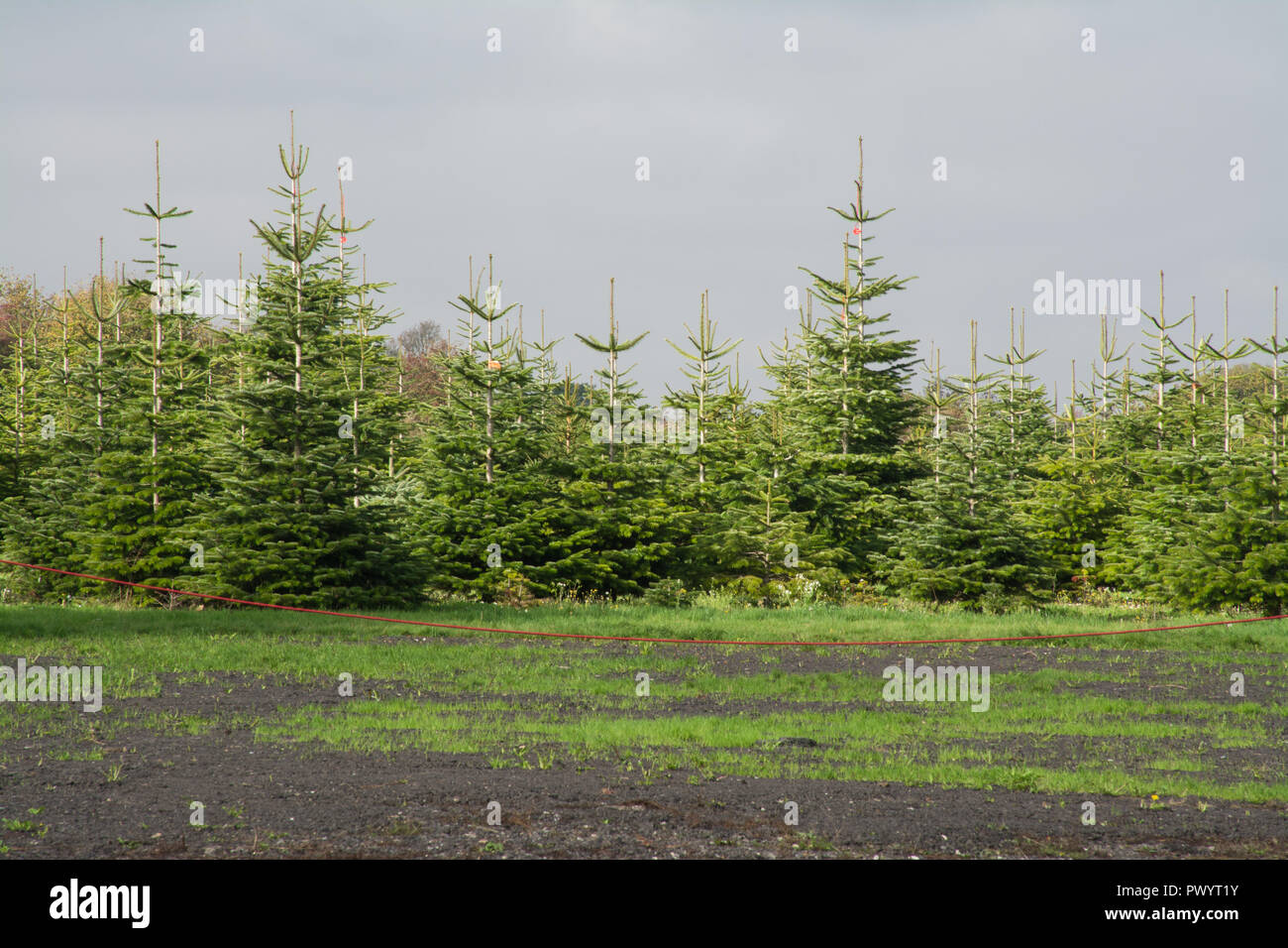 Growing Christmas Trees Uk Stock Photos & Growing
