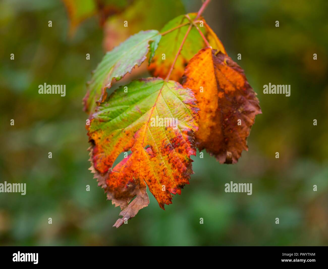 Almost rust-color covered hanging leaf in Autumn - Stock Image