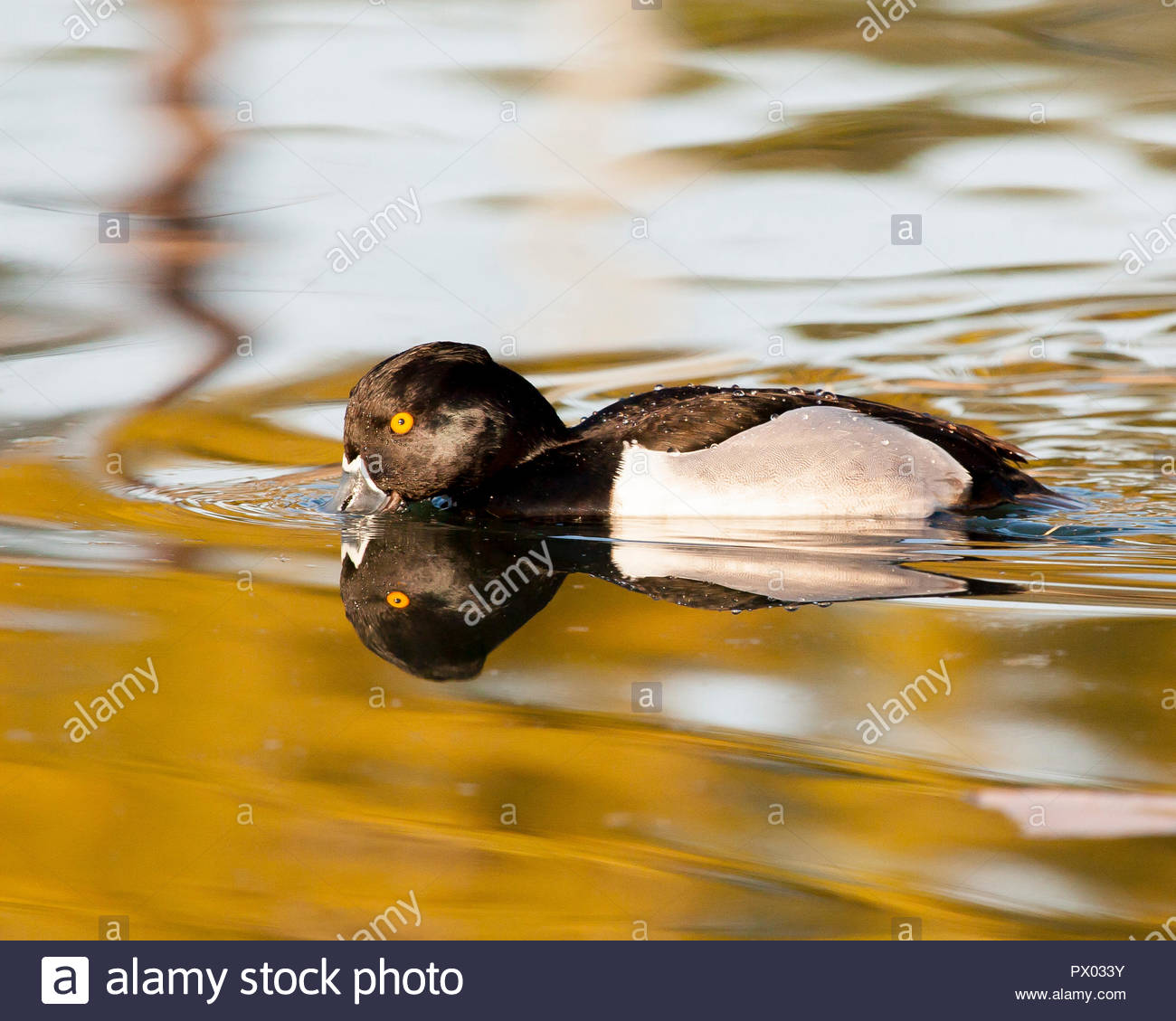 Male ring-necked duck and reflection showing water beading on its back. - Stock Image