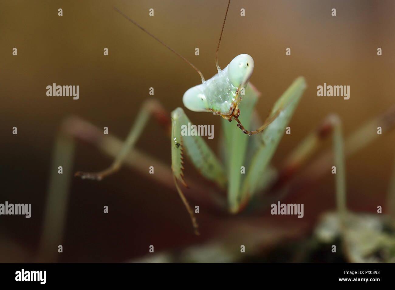 Praying mantis Giant Asian Mantis Hierodula membranacea macro close up - Stock Image