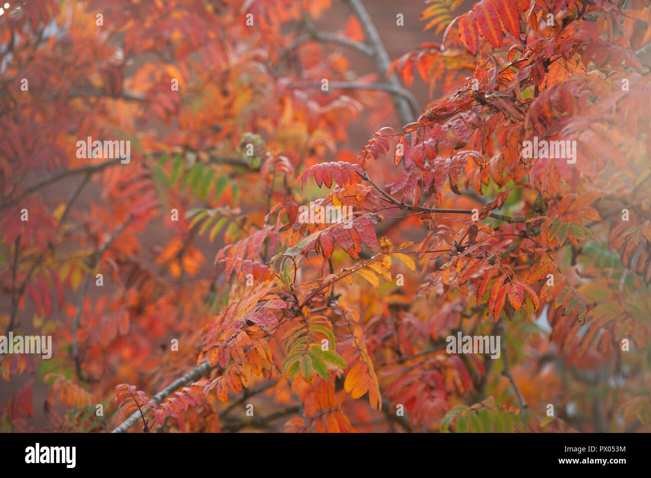 Rowan (Mountain Ash) leaves in their autumn plumage. - Stock Image