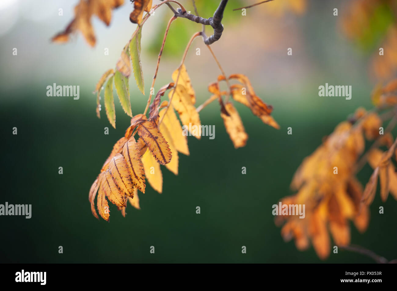 Rowan (Mountain Ash) leaves in their Autumn (Fall) plumage. - Stock Image