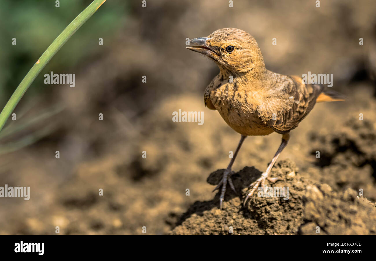 Rufous Tailed Lark in open field - Stock Image