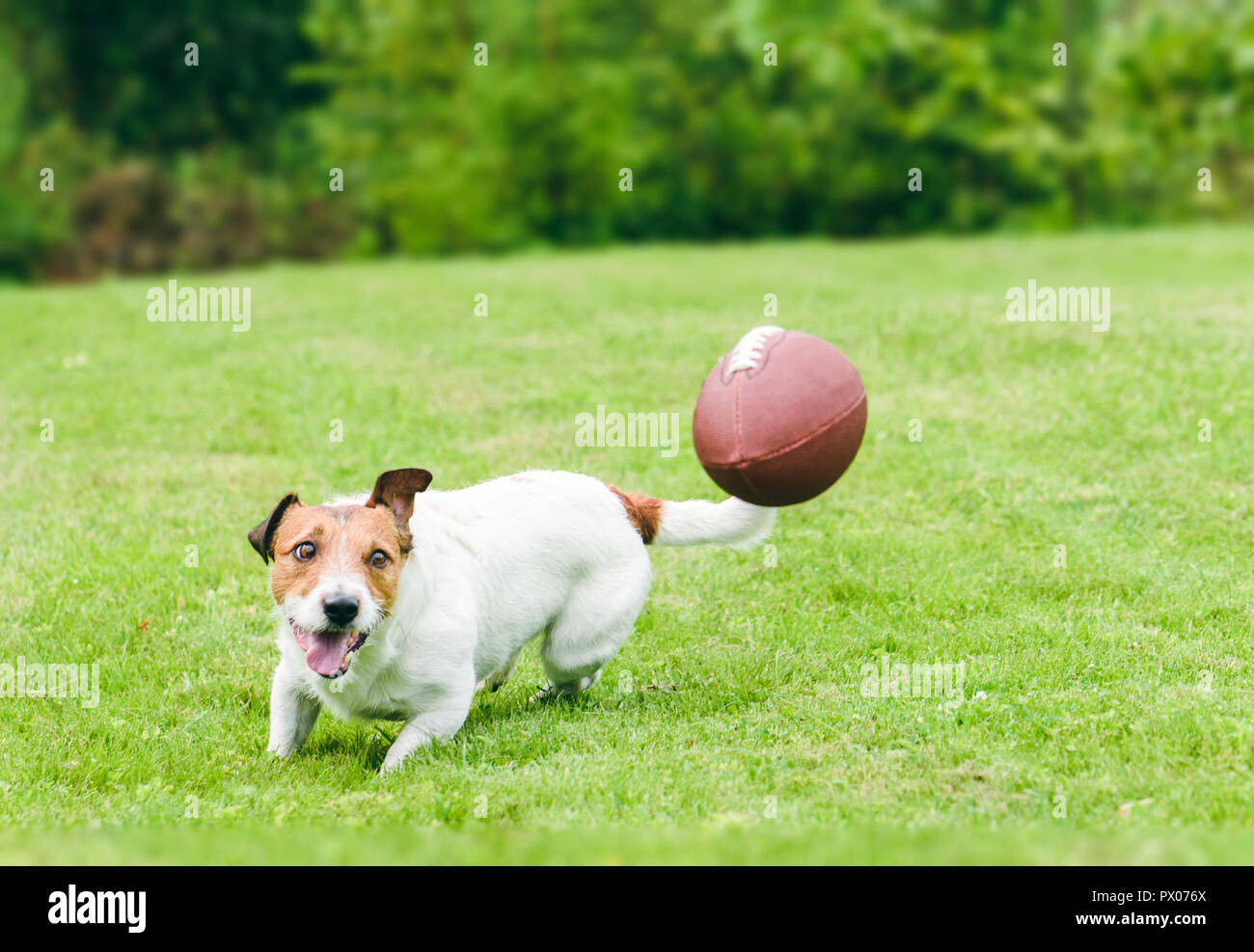 Amusing dog running to catch american football ball at back yard green grass lawn - Stock Image
