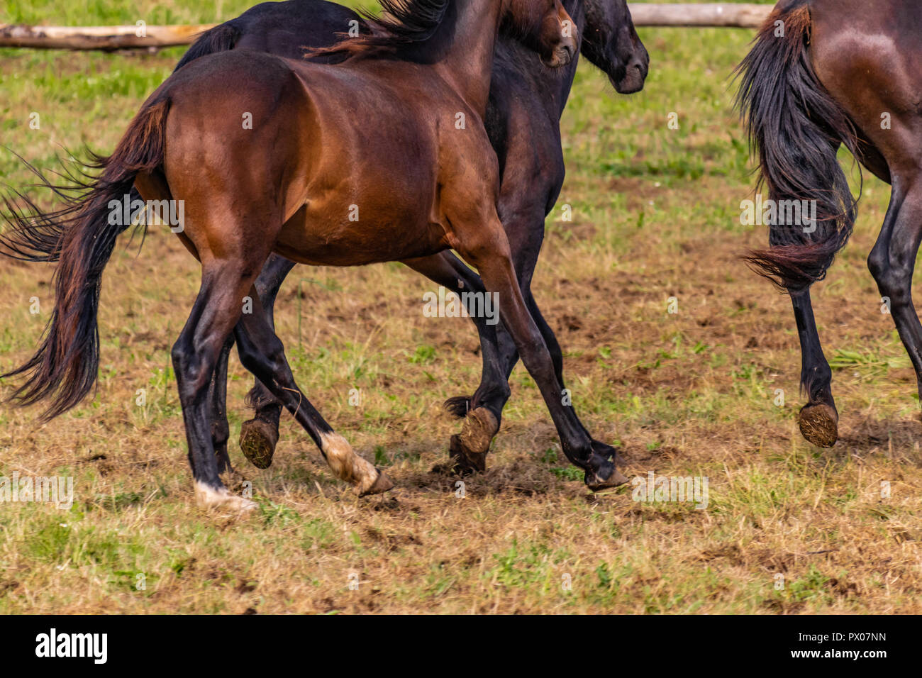 Wild horses galloping wildly in an American ranch. Details and focus on feet, grass, dust, dirt and motion blur. Sunny day, country lifestyle. - Stock Image