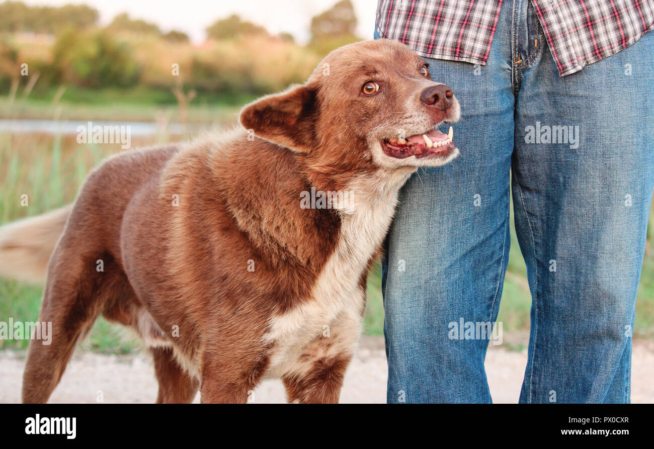 Smiling and friendly brown stray dog leaning against man's leg. - Stock Image