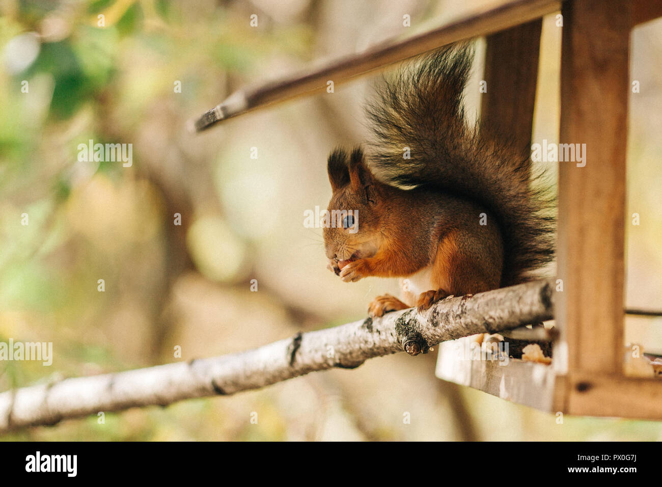Squirrel, spring with nuts - Stock Image