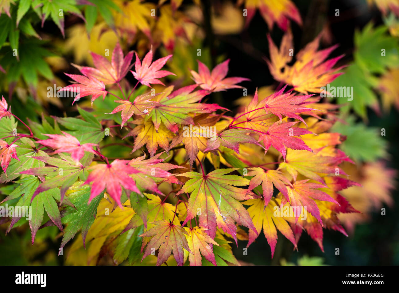 Acer Shirasawanum Stock Photos Acer Shirasawanum Stock Images Alamy