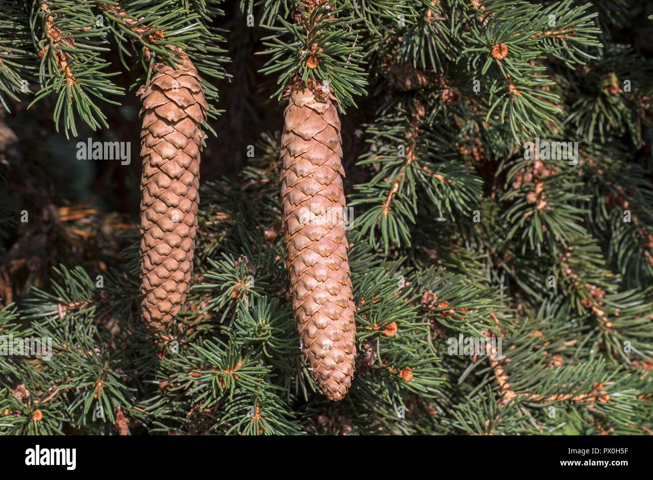 Blue spruce / green spruce / white spruce / Colorado spruce / Colorado blue spruce (Picea pungens Lombarts) close up of mature spruce cones - Stock Image
