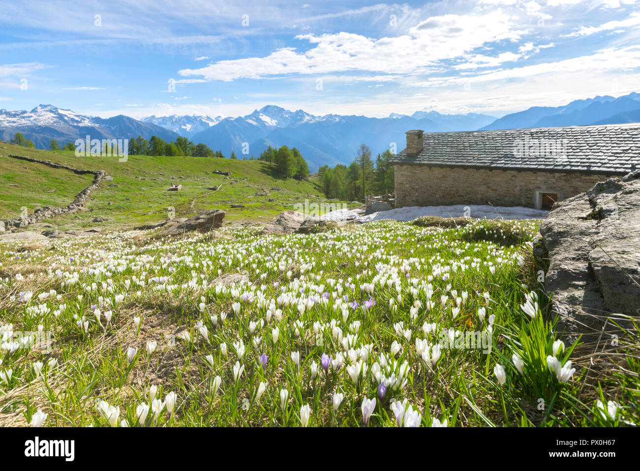 Stone hut surrounded by crocus flowers in bloom, Casera di Olano, Valgerola, Valtellina, Sondrio province, Lombardy, Italy - Stock Image
