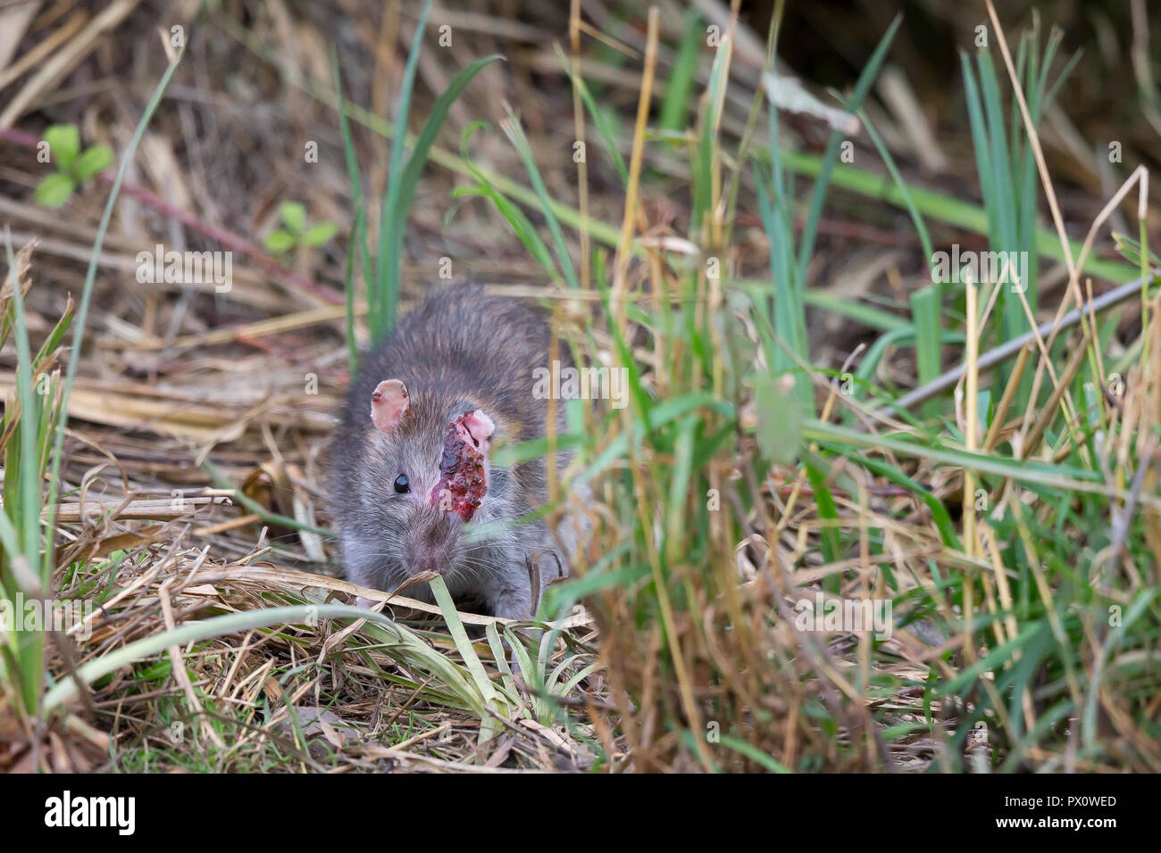 Detailed close up of horribly injured common brown rat (Rattus norvegicus) looking head-on with only one eye. Injury: dominance or territory squabble. - Stock Image
