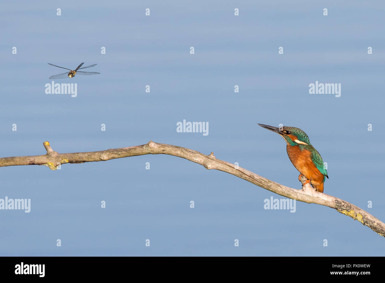 Detailed comical shot of wild common kingfisher (Alcedo atthis) perched on branch (side-on) watching dragonfly hovering in front of him. Dinner time! - Stock Image