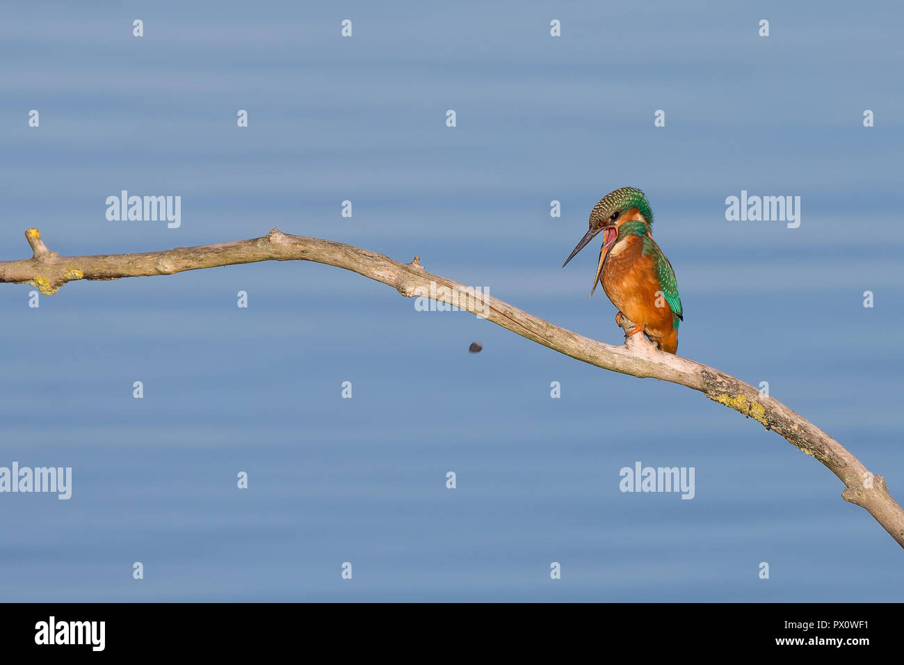 Detailed, close-up front view of comical UK kingfisher bird (Alcedo atthis) perched on branch, front-facing, beak open wide, coughing up pellet. - Stock Image
