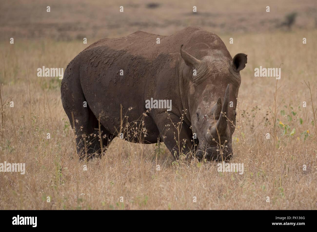 Southern white rhinoceros or southern square-lipped rhinoceros Ceratotherium simum simum Lewa Conservancy Kenya Stock Photo