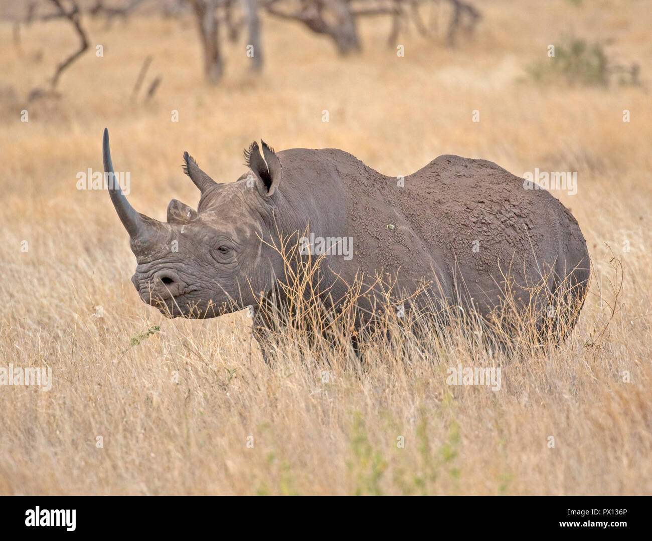 Black rhino Diceros bicornis at Lewa Wildlife Conservancy Kenya a vitally important conservation area which has built up the population from 15 in 198 - Stock Image