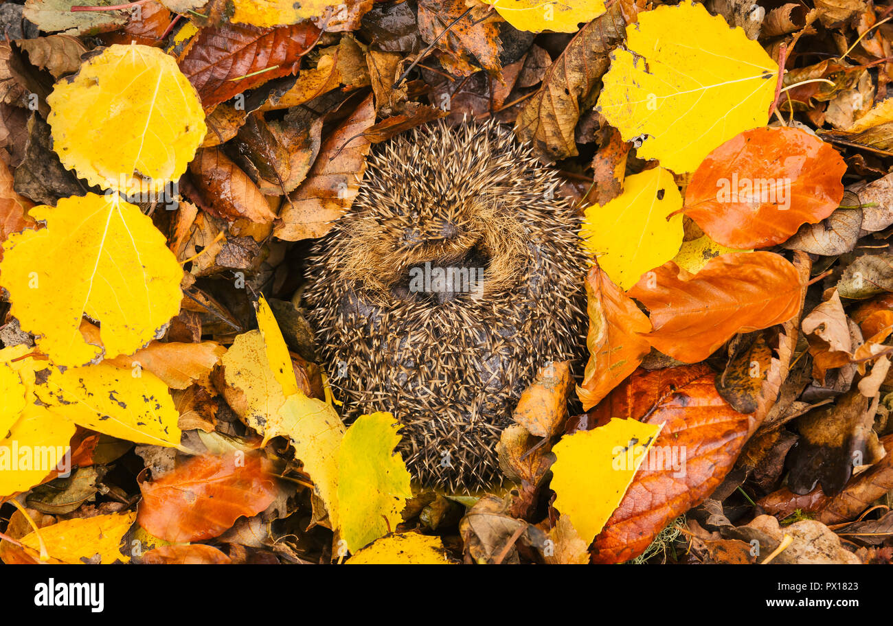 Hedgehog,native, wild, European hedgehog (Erinaceus Europaeus) curled up into a ball, hibernating in colourful yellow, orange and brown Autumn or Fall - Stock Image