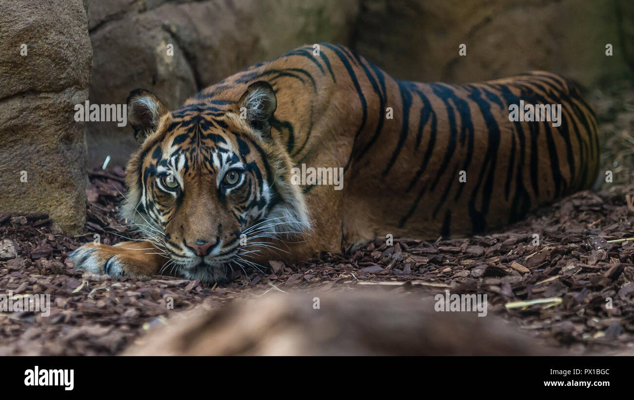 A tiger at rest. - Stock Image