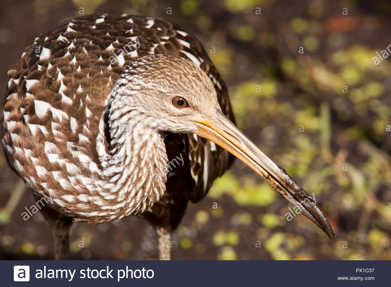 Limpkin in Florida park approaches extremely close. - Stock Image
