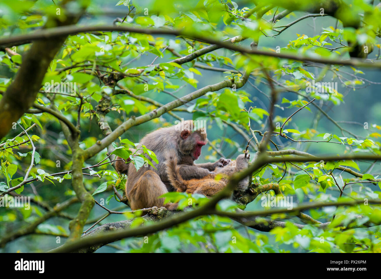 Wild macaque monkeys (Macaca mulatta) near Ten Thousand Buddhas Monastery, Sha Tin, Hong Kong, China. Stock Photo