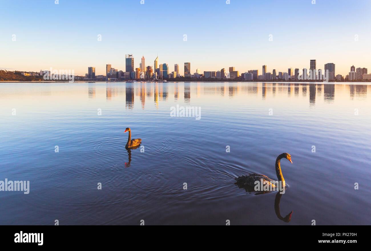Blacks swans (Cygnus atratus) on the Swan River at sunrise. Perth, Western Australia - Stock Image