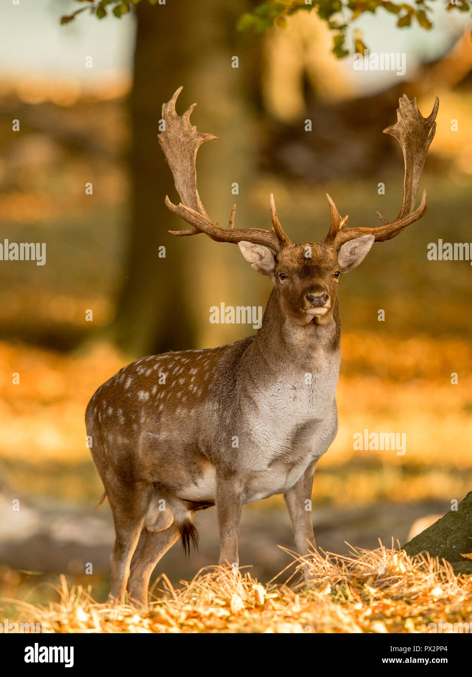 Fallow Deer, Dama dama, Male with antlers in beautiful golden light in autumn forest in Dyrehave, Denmark. Stock Photo