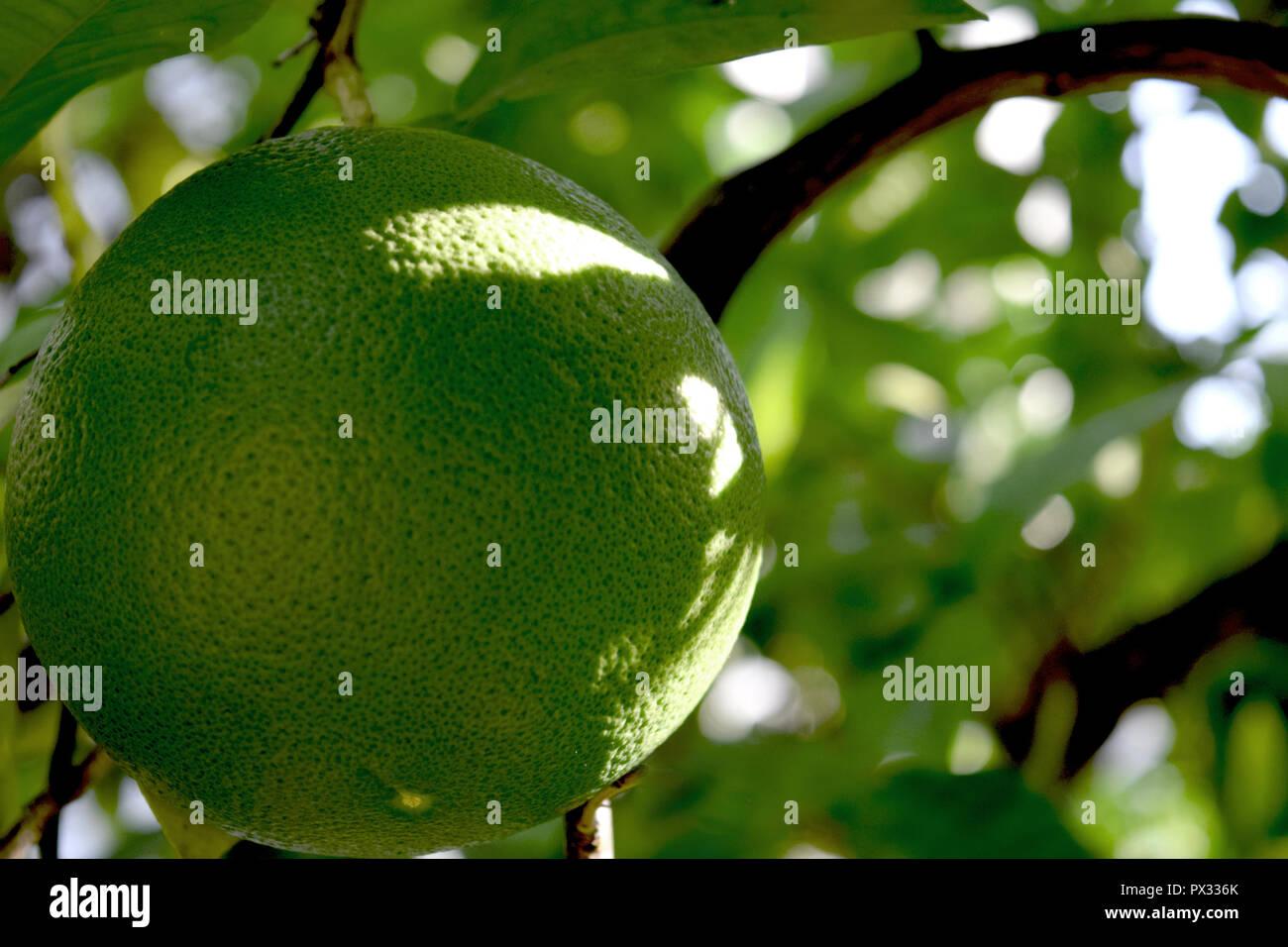 Grapefruit Close Up Fruit Tree Sunny Day - Stock Image