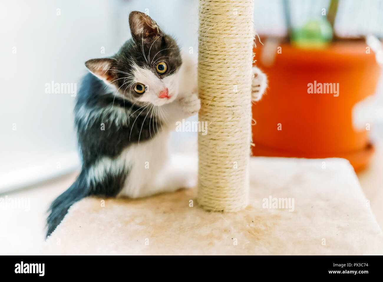 Cute Baby Cat Scratching And Sharpening Claws At Home - Stock Image
