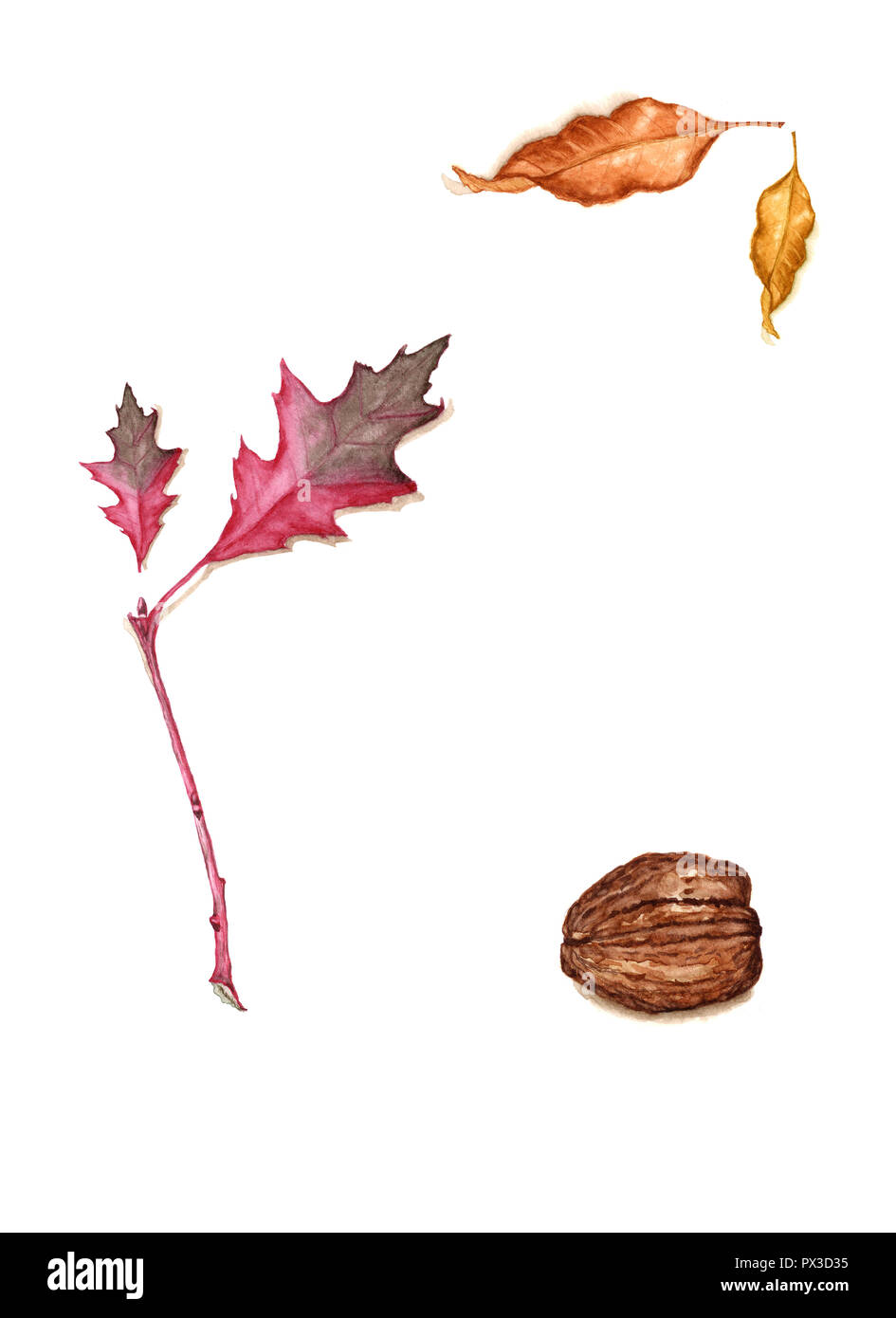 Hand drawn watercolor of fall foliage and walnuts. Autumn vintage botanical illustration of red oak branch with leaf, ash leaves, walnut isolated on t Stock Photo