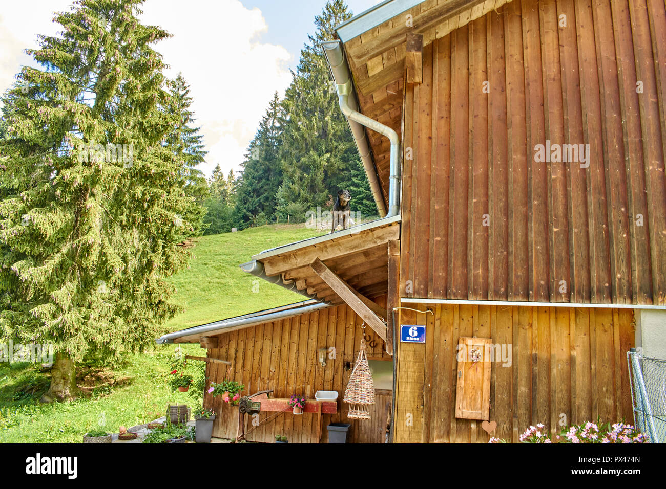 curious little dog on the roof of a woodhouse in the mountains - Stock Image