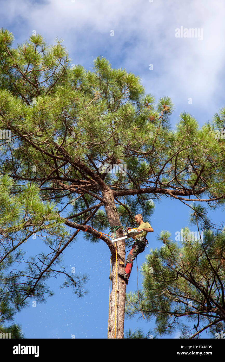 Professional woodcutter into action near a house. The felling of high pine trees necessitates the cutting down of their boles from the top downwards. - Stock Image