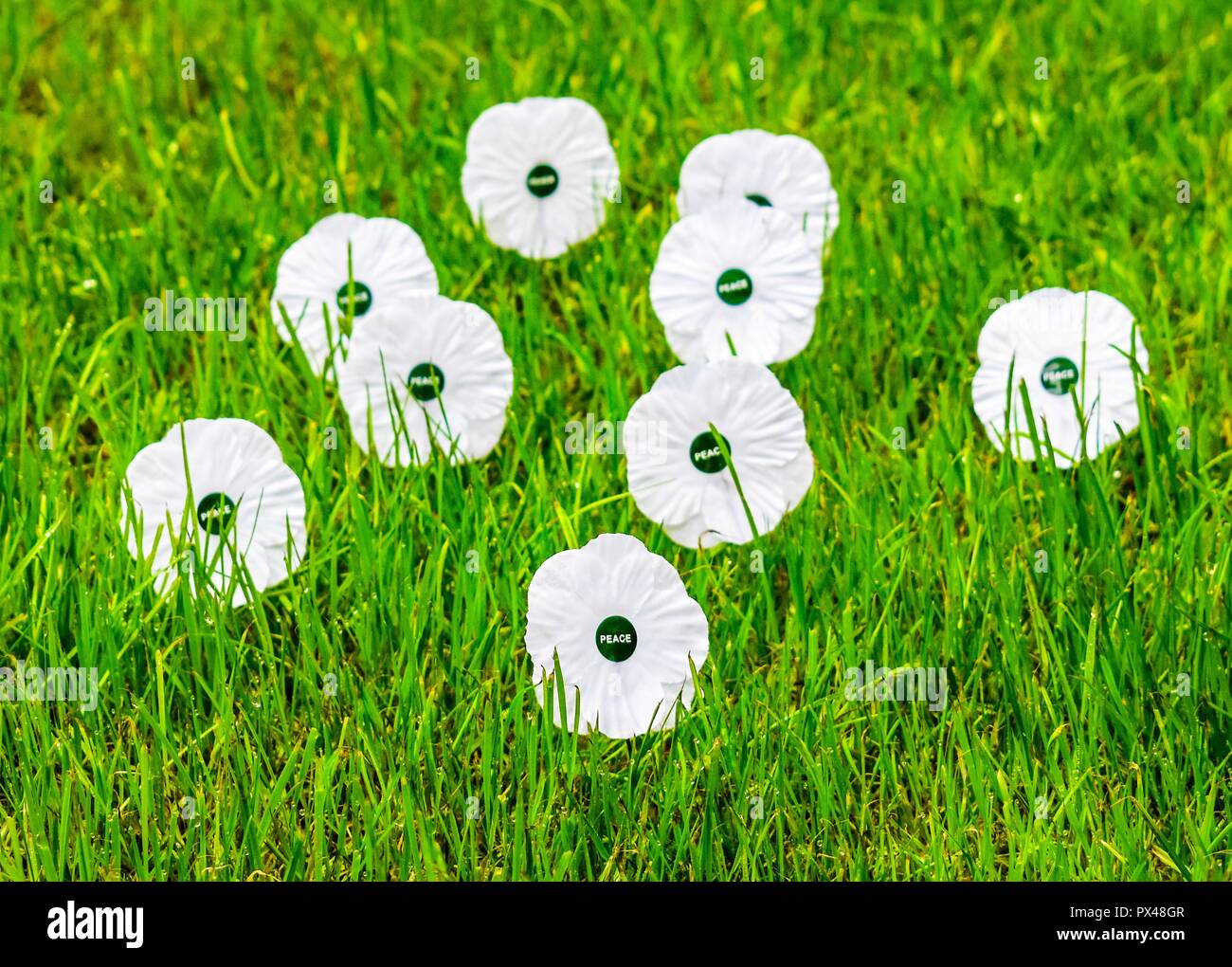 White poppies   remembrance  White peace poppy Stock Photo