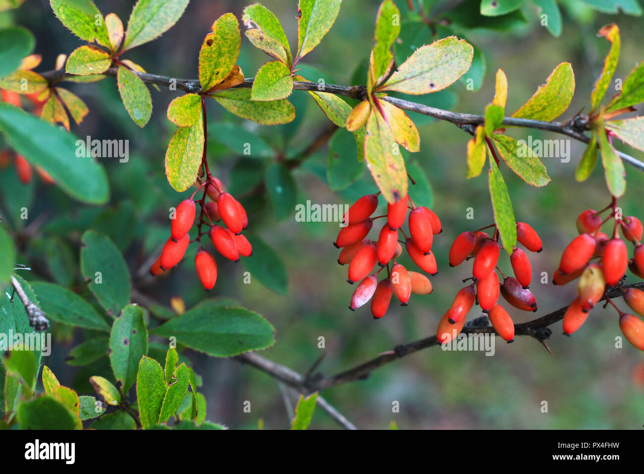 Barberry growing on the branch in autumn time - Stock Image