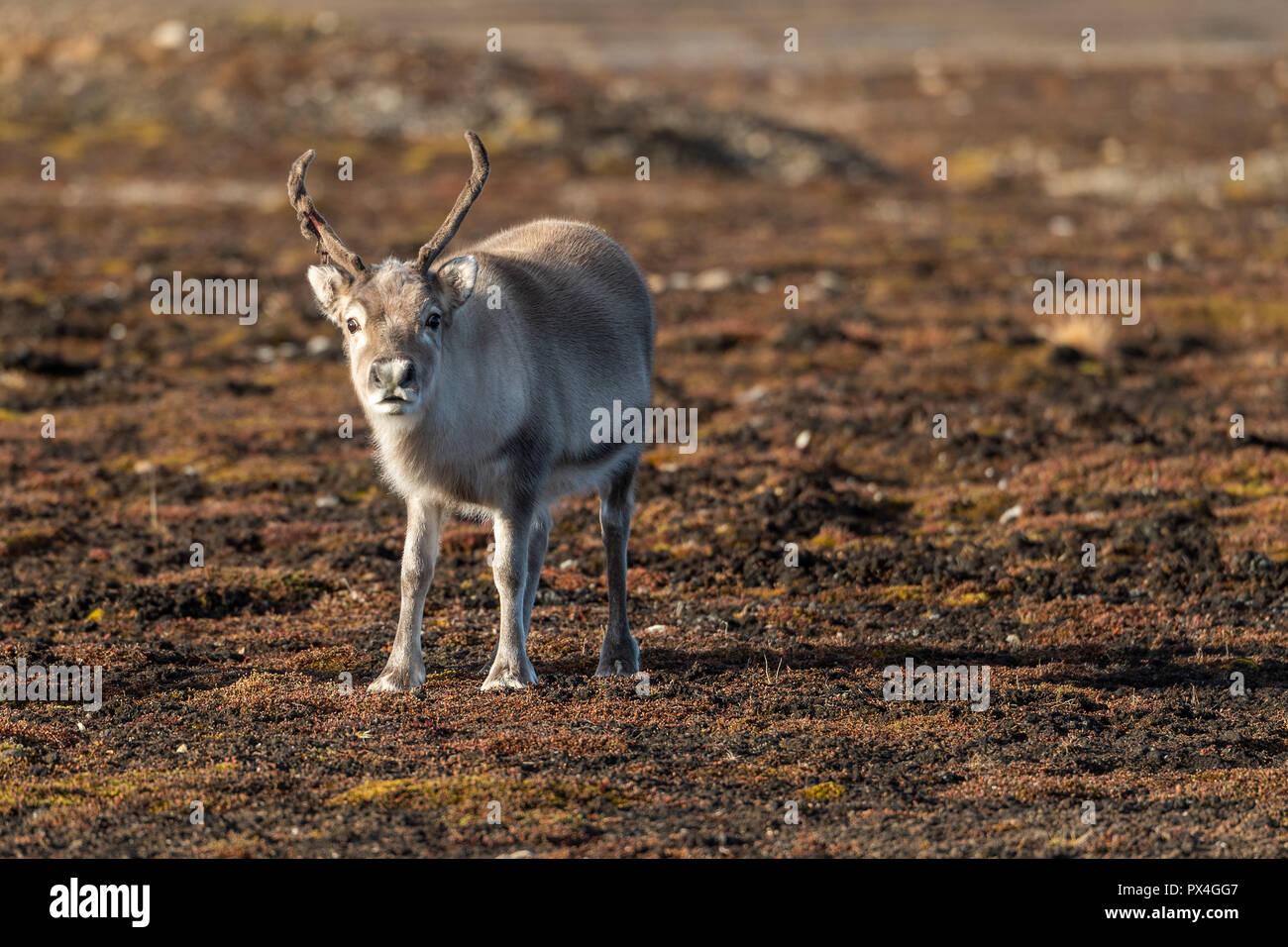 Svalbard reindeer (Rangifer tarandus platyrhynchus), Spitsbergen Archipelago, Svalbard and Jan Mayen, Norway - Stock Image