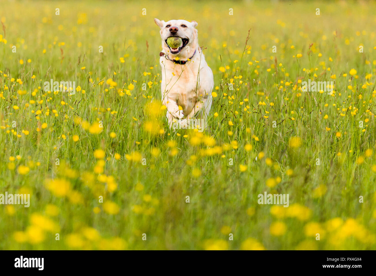 Yellow labrador fetching ball in a field of buttercups. Stock Photo