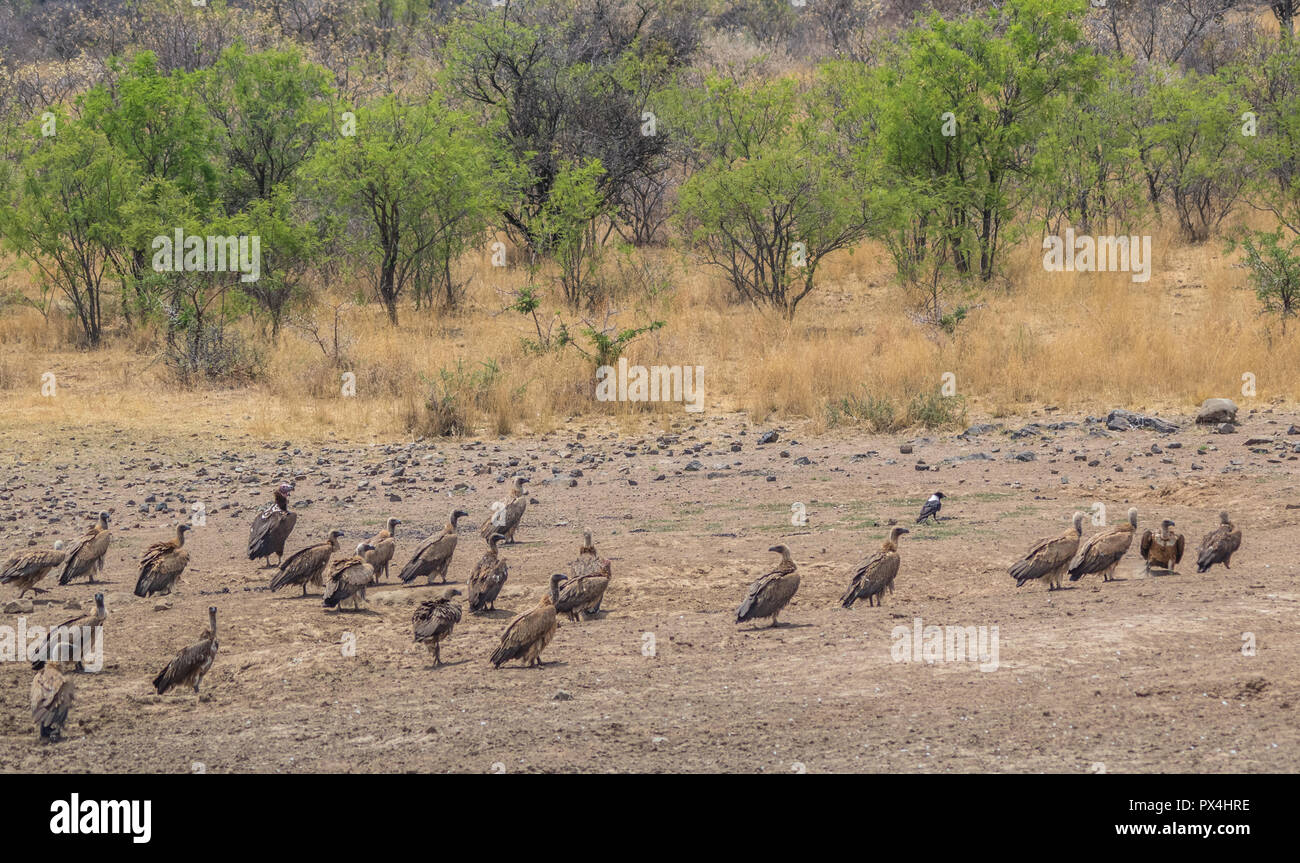 Vultures on the ground next to a drying waterhole in the African wilderness image with copy space in landscape format - Stock Image