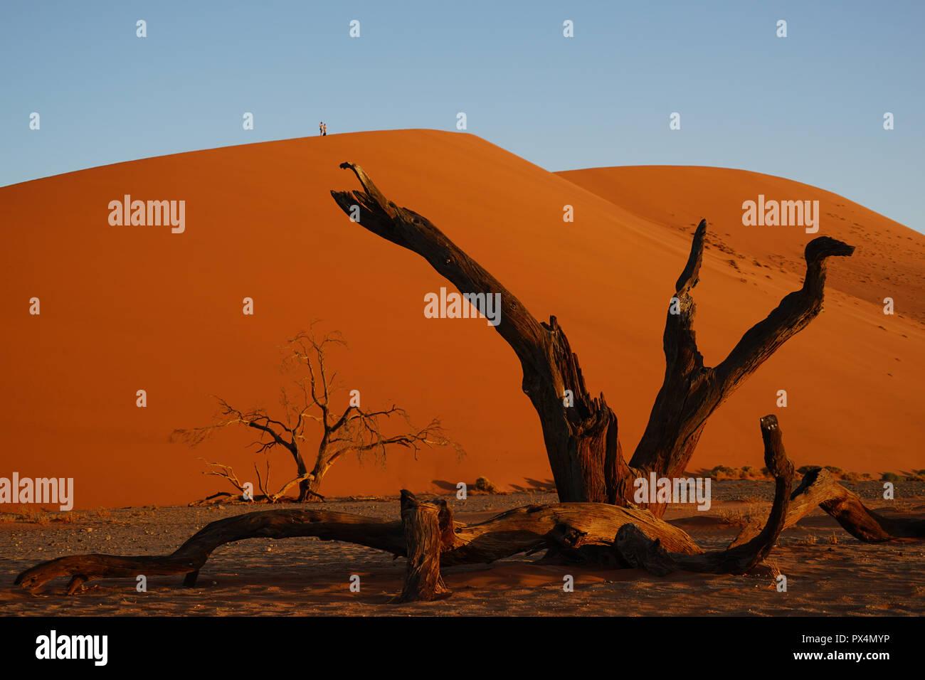 abgestorbener Kameldorn vor Düne 45, Namib-Dünenmeer, Namib Wüste, Sossusvlei-Gebiet, Namibia, Afrika - Stock Image