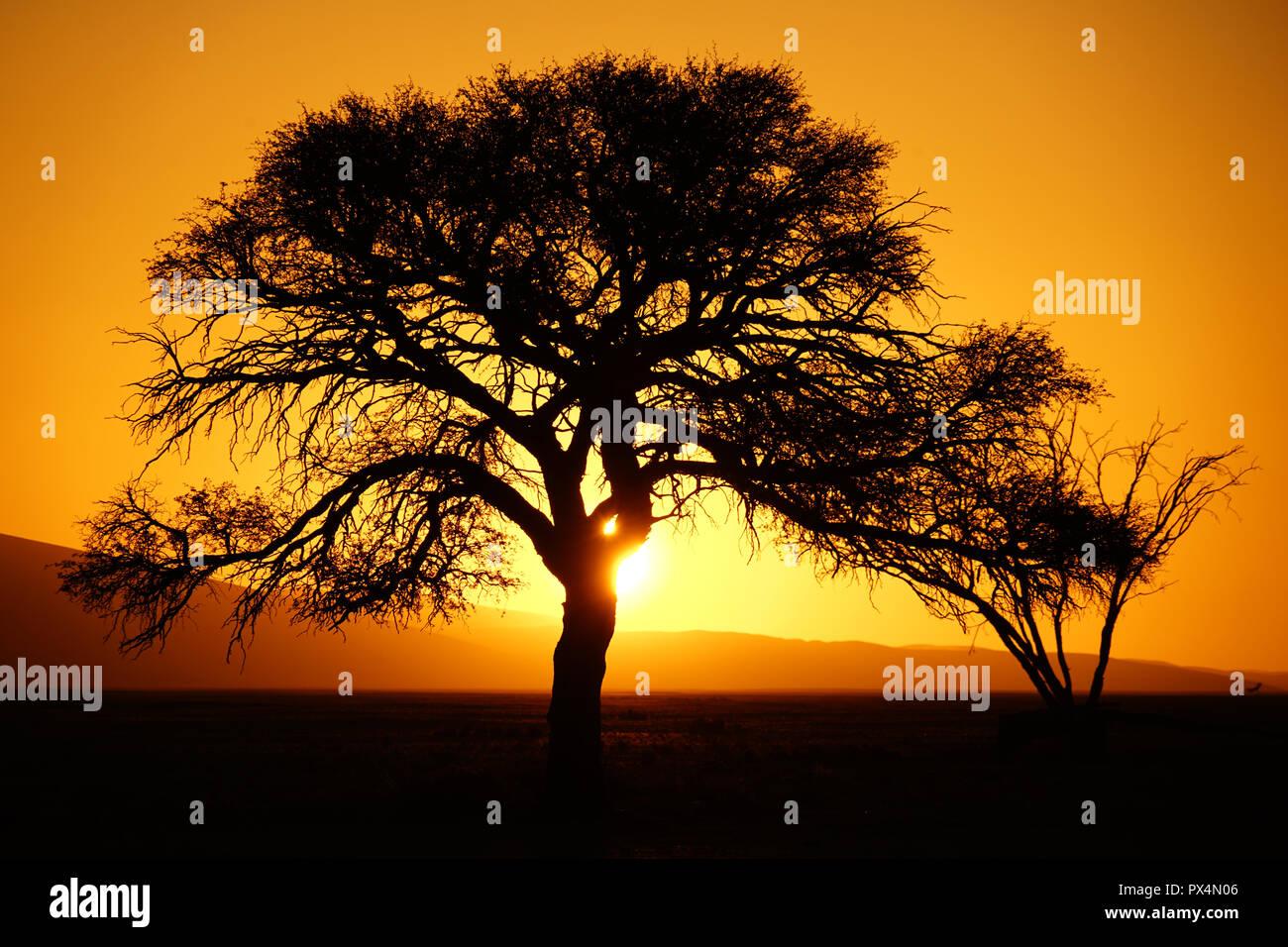Sonnenuntergang, Kameldorn neben Düne 45, Namib-Dünenmeer, Namibia, Afrika - Stock Image