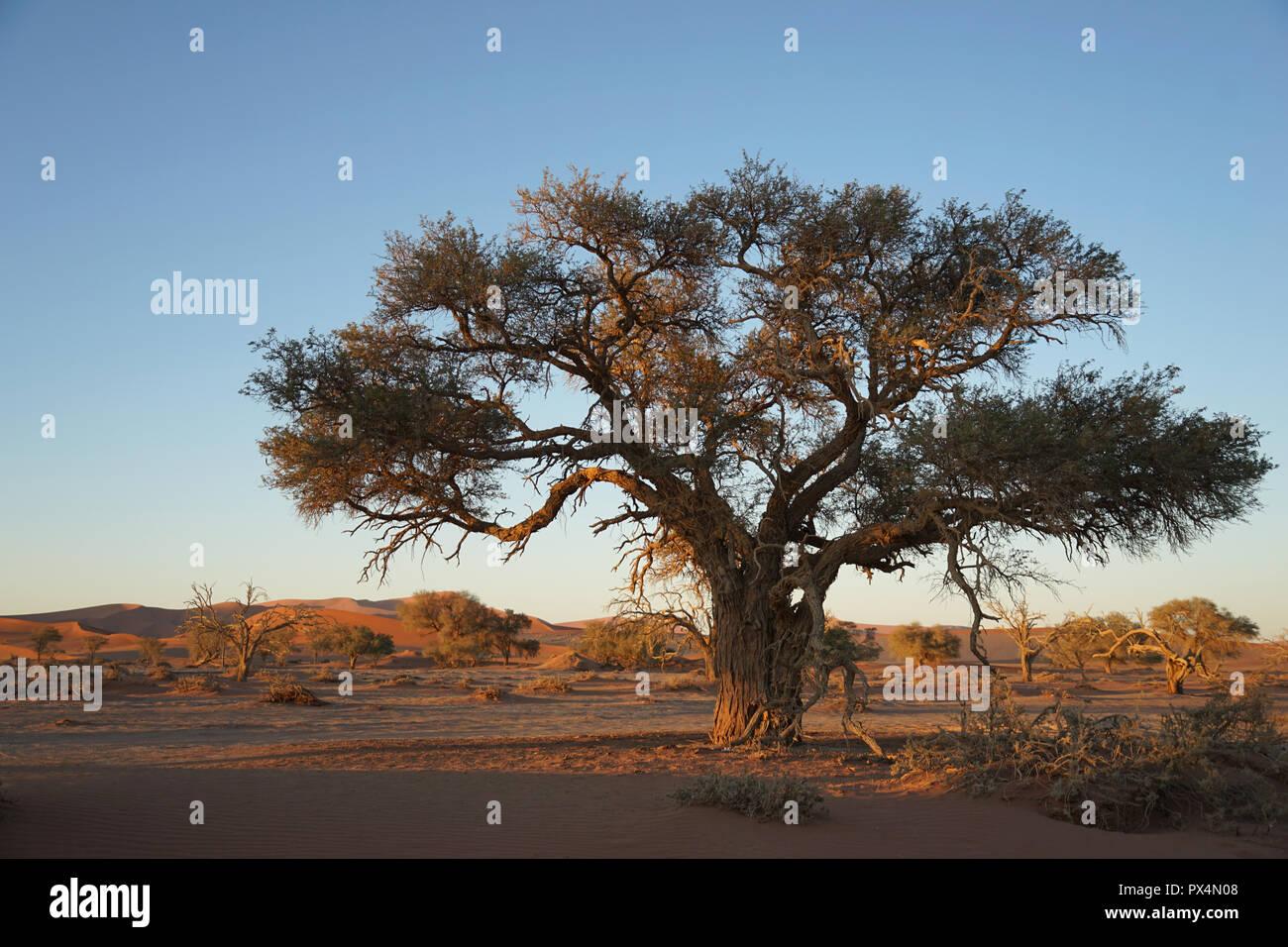 Kameldorn neben Düne 45, Namib-Dünenmeer, Namibia, Afrika - Stock Image
