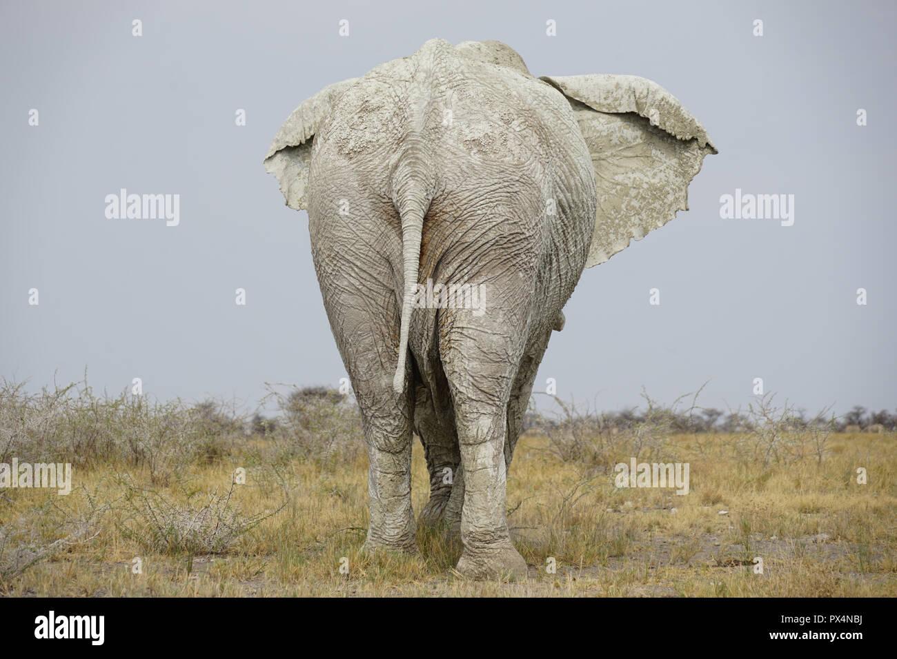 weißer Elefant, mit weißem Schlamm bedeckt, Etosha Nationalpark,  Namibia, Afrika Stock Photo