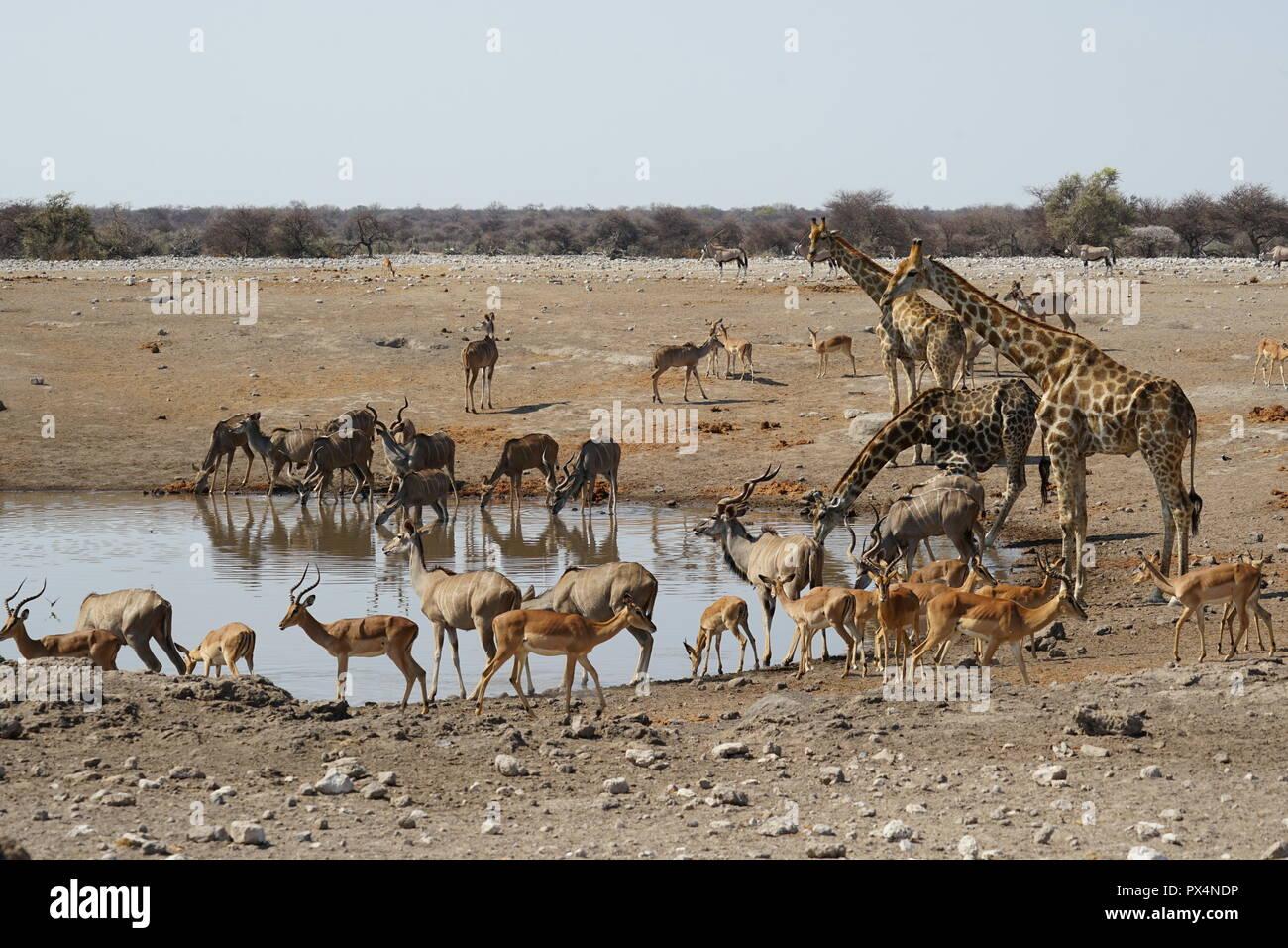 Tiere am Wasserloch 'Chudob', Etosha Nationalpark, Namibia Namibia, Afrika - Stock Image