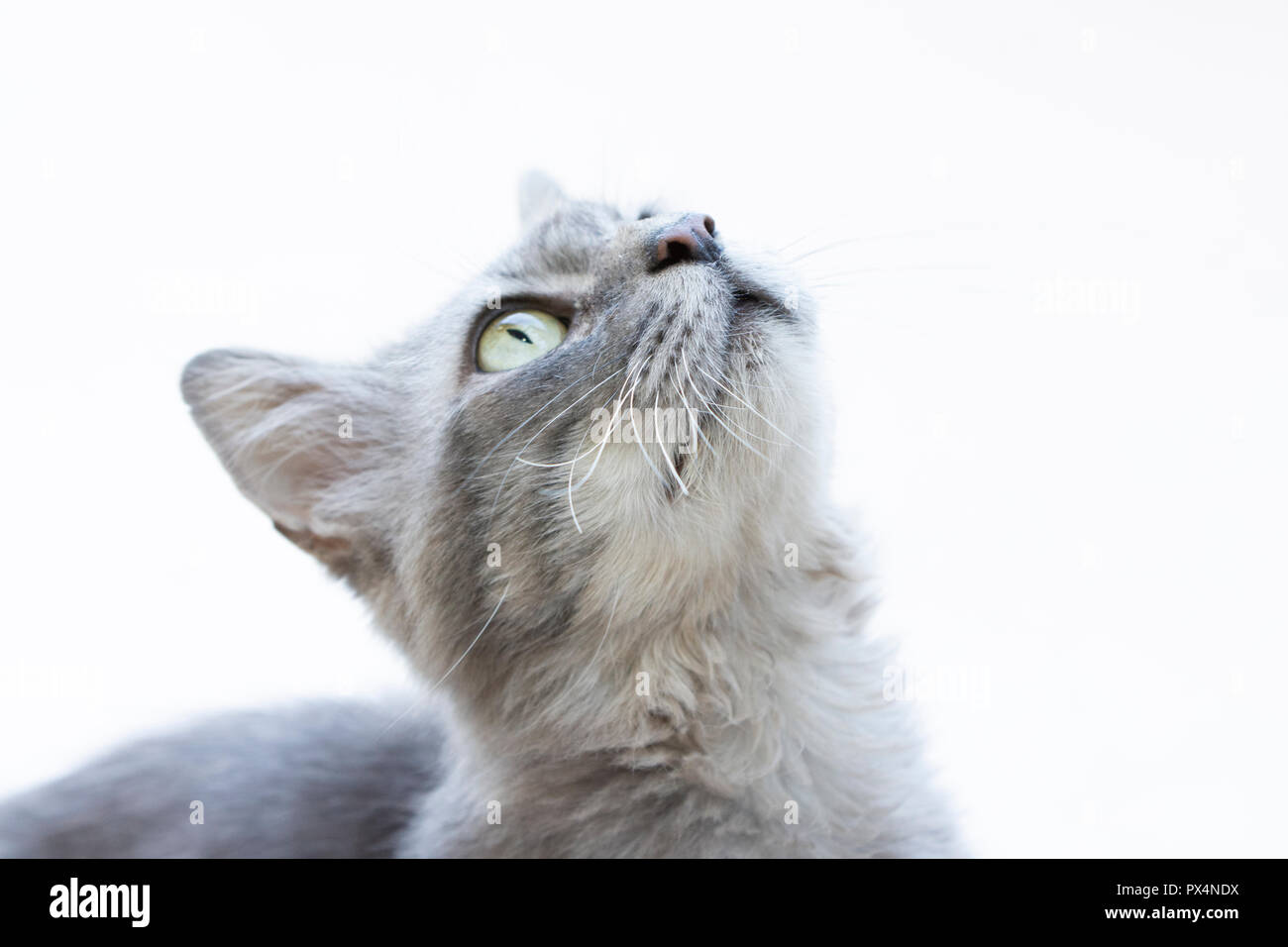 Closeup to gray cat with green eyes - Stock Image