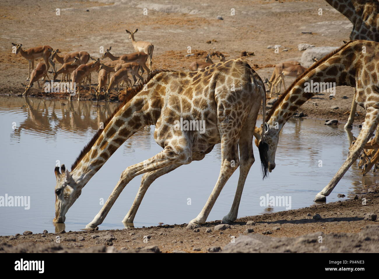 Giraffen und andere Tiere am Wasserloch 'Chudob', Etosha Nationalpark, Namibia Namibia, Afrika - Stock Image