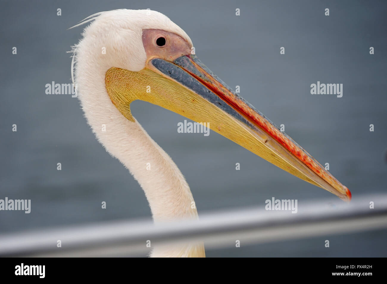 Great White Pelican (Pelecanus onocrotalus), Walfish Bay, Namibia, Africa Stock Photo