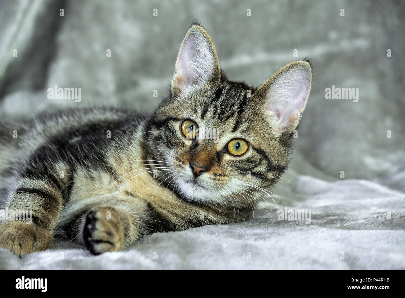 small mongrel striped kitten lying on its side, front paws stretched out, muzzle into the camera, looking straight, yellow with green eyes, orange - Stock Image
