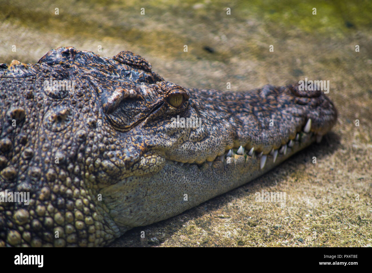 Chiang Mai, Thailand - July 1, 2018 :  At Chiang Mai Zoo,  crocodile resting on the ground Close-up. - Stock Image