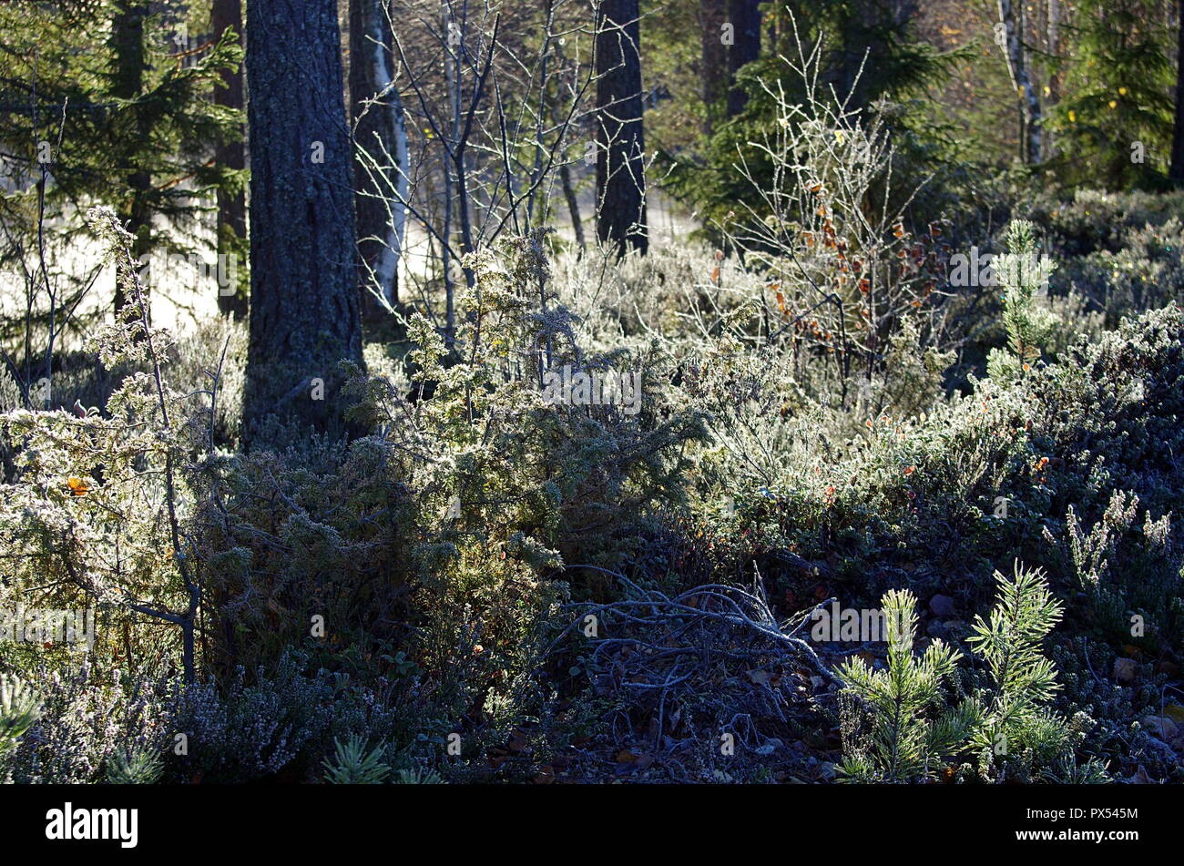 First frost in the forests of Dalarna on a cold autumn morning. - Stock Image