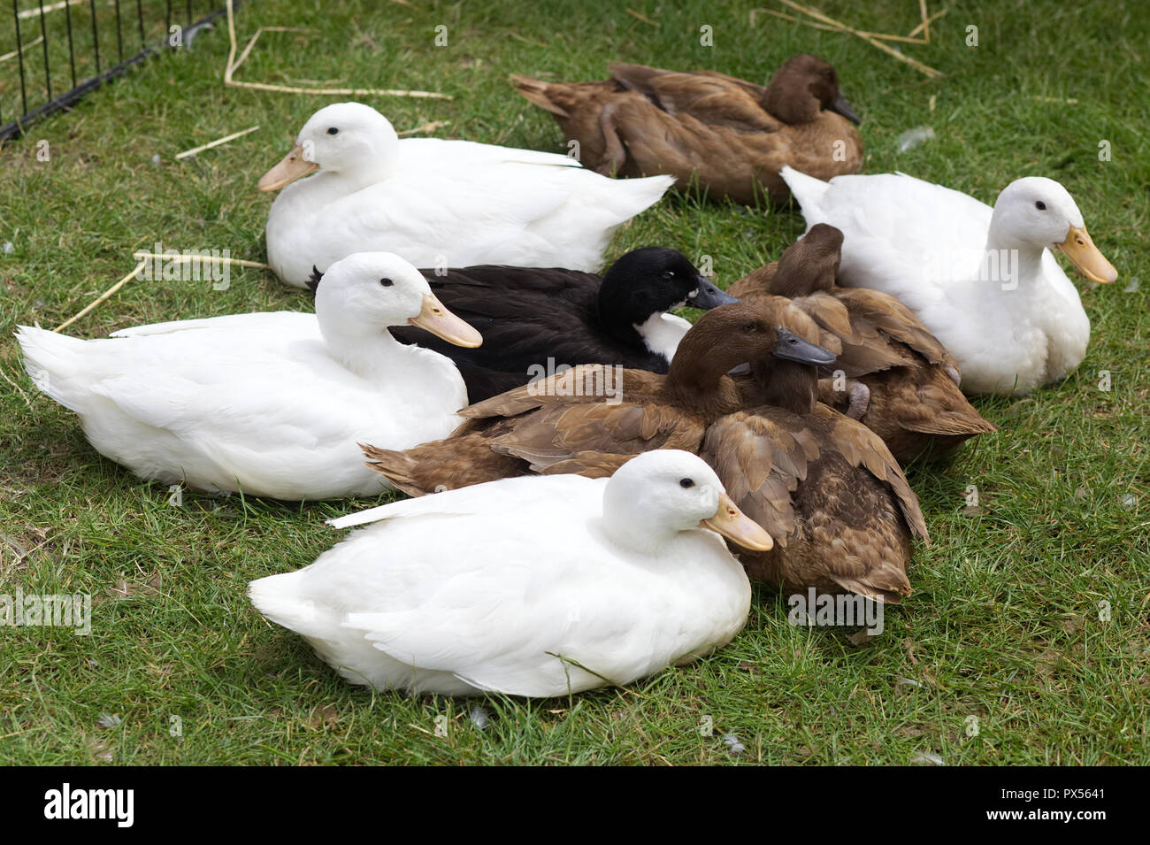 Ducks in a pen at a showground - Stock Image