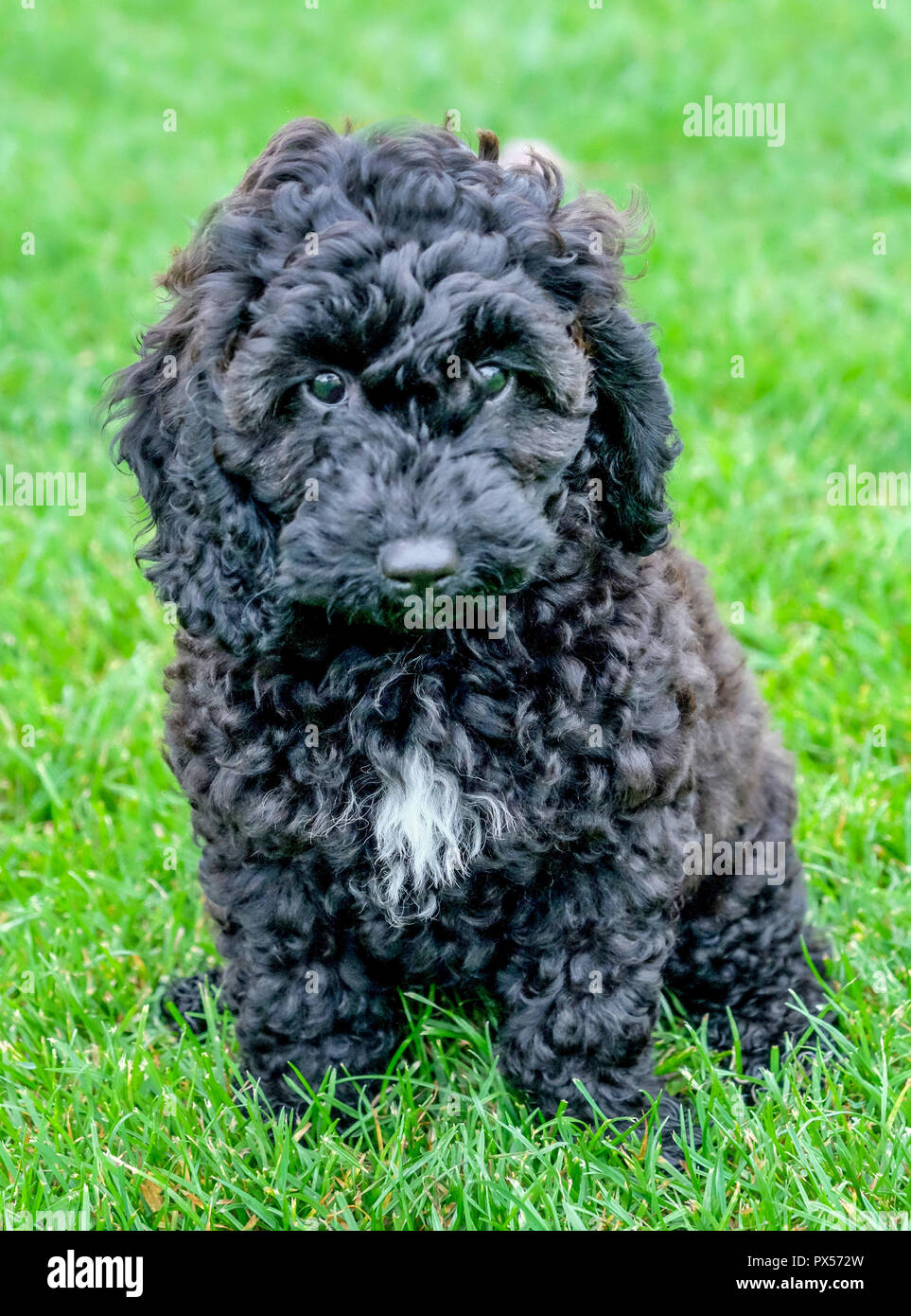 Curly Haired White Poodle Stock Photos & Curly Haired White